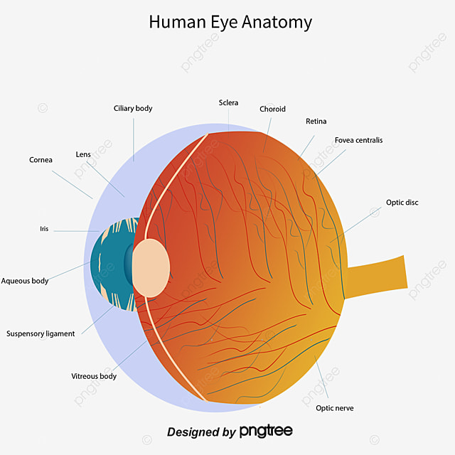 Vector hand painted eye diagram vector hand painted eyeball png vector hand painted eye diagram vector hand painted eyeball png and vector ccuart Image collections