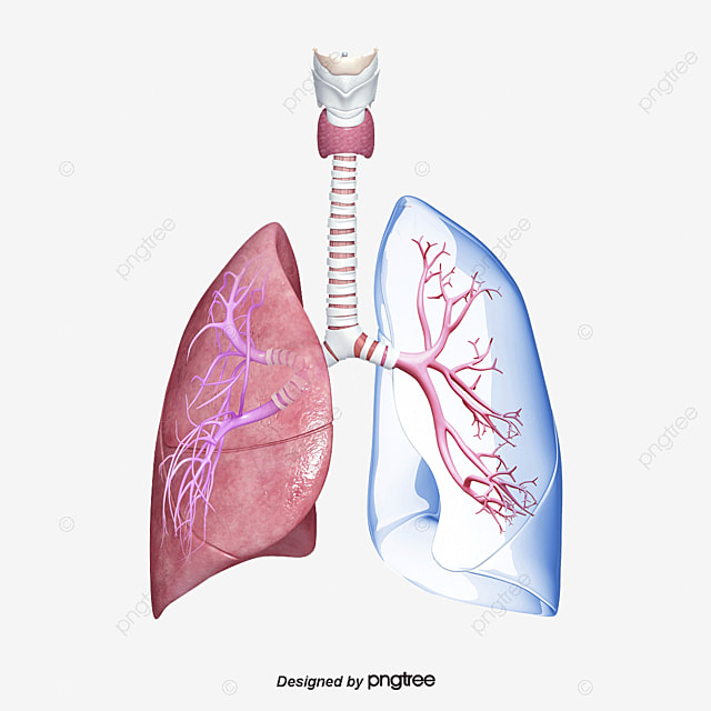 Body Lungs, Respiratory Tract, Thyroid Cartilage, Trachea PNG and ...