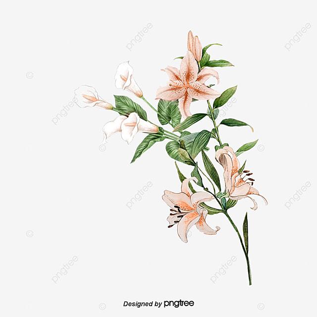 u00e9l u00e9gant lily  u00e9l u00e9gant lily peint  u00e0 la main fichier png et
