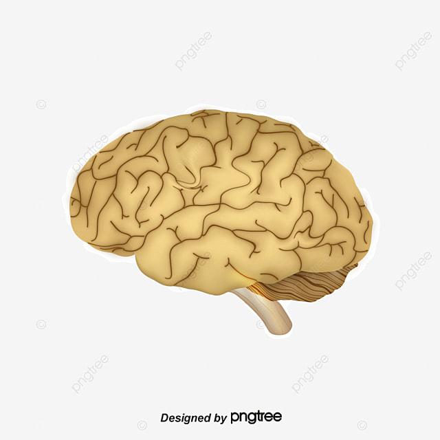 le cerveau de dessins anim u00e9s cerveau d organes dessin png