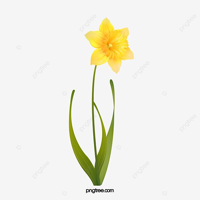 jonquille jaune vert des plantes image png pour le daffodil clip art black & white daffodil clip art black