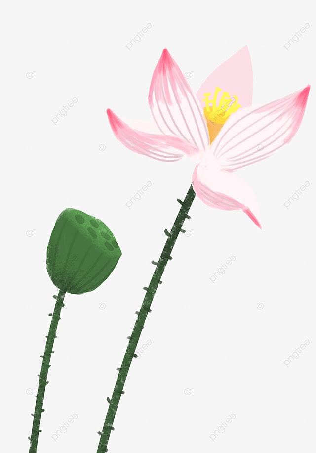 A Lotus Flower Lotus Lotus Root Pink Png Transparent Clipart