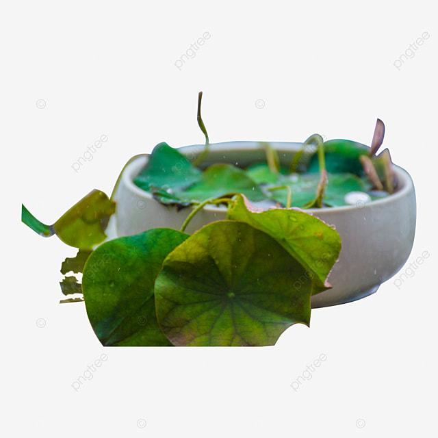 Tanaman Hidroponik Tumbuhan Pasu Tumbuhan Hidroponik Gelas
