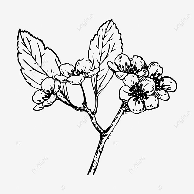 Flower black and white realistic. Hand drawn lines begonia