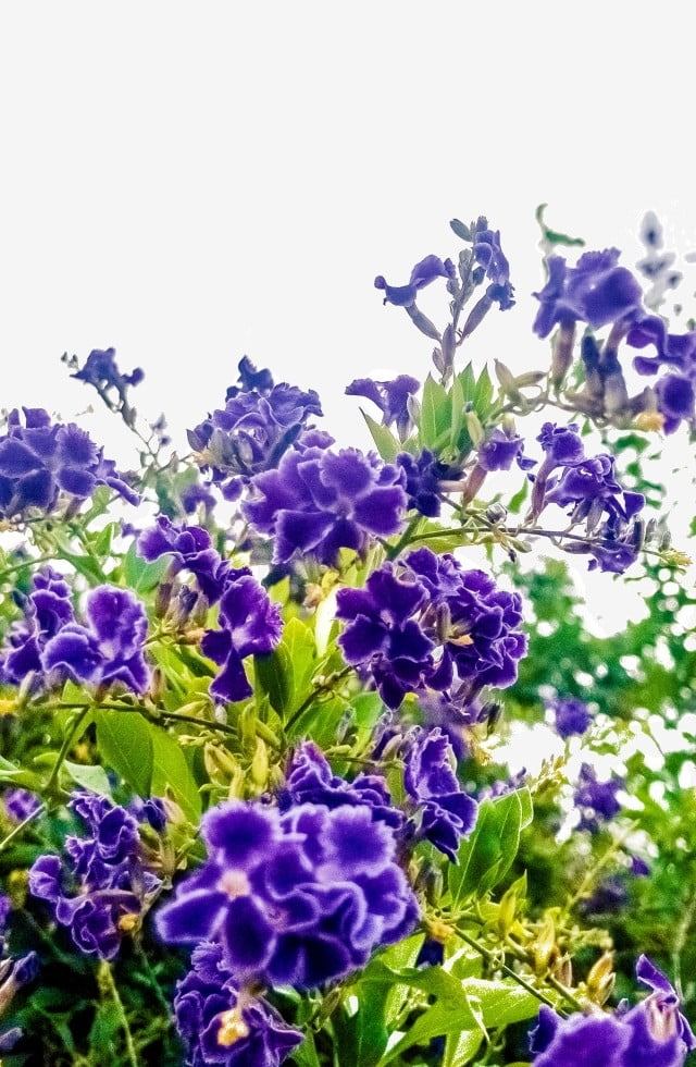 Purple Flowers Are Bright And Open Purple Small Flowers Bright