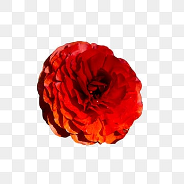 Red Flowers Png Images Download 4400 Red Flowers Png Resources