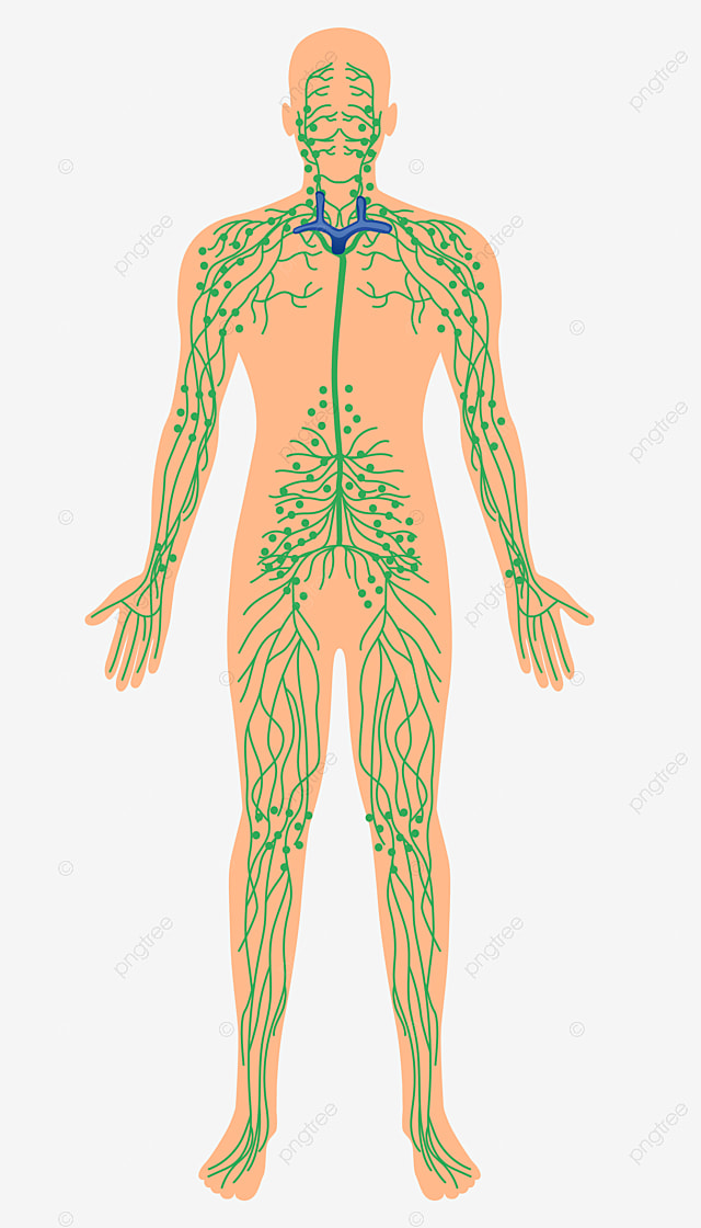 human neuron diagram human body neurons structure png and vector with transparent background for free download human neuron diagram human body