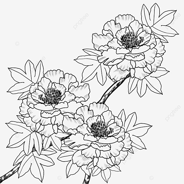 Peony Flower Line Drawing Clipart Black And White Peony Blossoms Line Drawing Medicinal Peony Flower Png Transparent Clipart Image And Psd File For Free Download