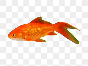 Золотая рыбка Красная рыба, Рыба, золотая рыбка, Красная рыба PNG фото и картинки