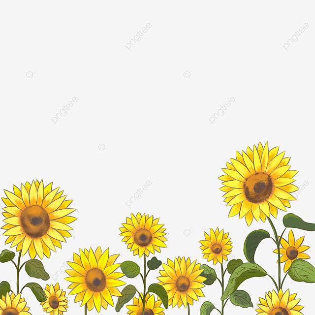 Gambar Bidang Bunga Matahari Kartun Bahan Png Clipart Bunga Matahari Bunga Matahari Kartun Bunga Matahari Png Transparan Clipart Dan File Psd Untuk Unduh Gratis