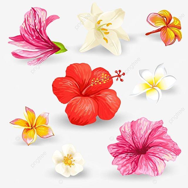 c236822f9008f Conjunto de ilustraciones vectoriales de las flores de hibisco Gratis PNG y  Vector