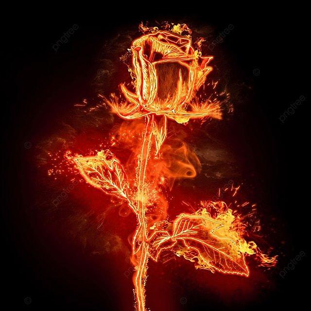 Rezultat iskanja slik za fiery rose