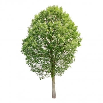 Tree PNG Images, Download 55,489 Tree PNG Resources with