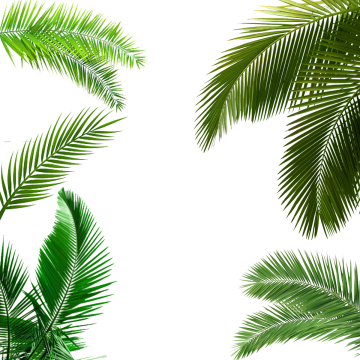 Palm Tree Png Images Download 912 Png Resources With Transparent