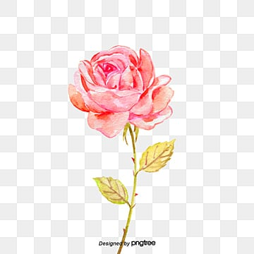 Rose Flower Png Images Vectors And Psd Files Free Download On