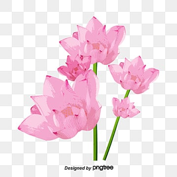 Lotus Flower Png Vectors Psd And Clipart For Free Download Pngtree