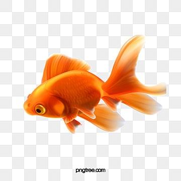 золотая рыбка декоративных рыб материал, Рыба клипарт, золотая рыбка, Рыба PNG и PSD