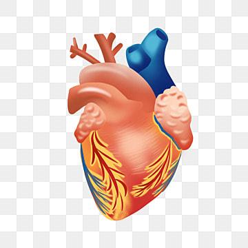 Human heart png images vetores e arquivos psd download grtis em o corao o corao corao dos desenhos animados material de corao png imagem ccuart Choice Image