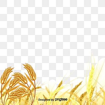 эстетизм золотое зерно, эстетизм золотое зерно, пшеница, сезон сбора урожаяPNG и вектор