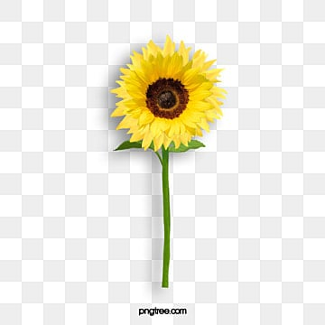 Sunflower PNG Images, ...