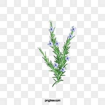Rosemary Png Vectors Psd And Clipart For Free Download