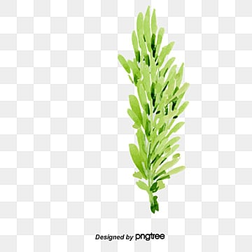 Rosemary Png, Vectors, PSD, and Clipart for Free Download ... Green Tea Leaves