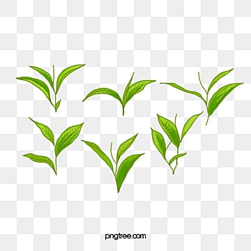 Tea leaf png vectors psd and clipart for free download pngtree green tea tea leaf green png image and clipart thecheapjerseys Image collections
