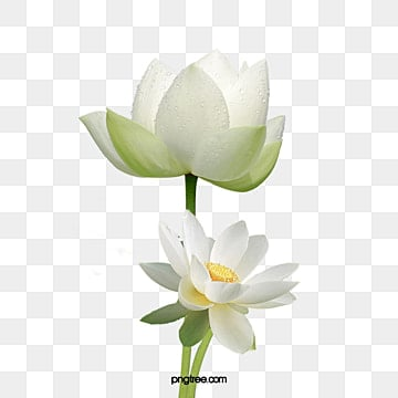 White Lotus Png Images Vector And Psd Files Free Download On