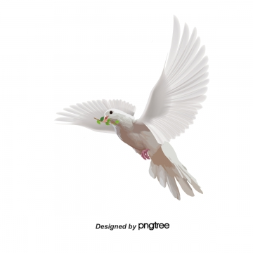 White dove, White, Pigeon, Pigeons PNG Image