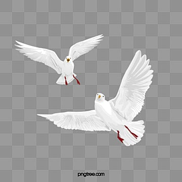 HD Pigeon 1, Fly, Pigeon, Birds PNG Image