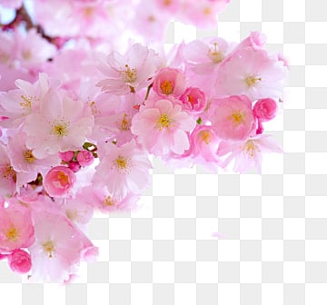 Sakura branches png images vectors and psd files free download pink cherry blossom branches cherry blossoms matte finish lovely png image and clipart mightylinksfo