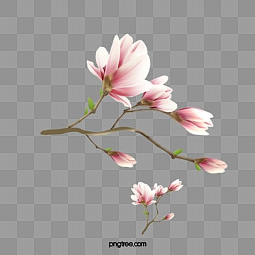 Magnolia Flower Png Images Vector And Psd Files Free Download On