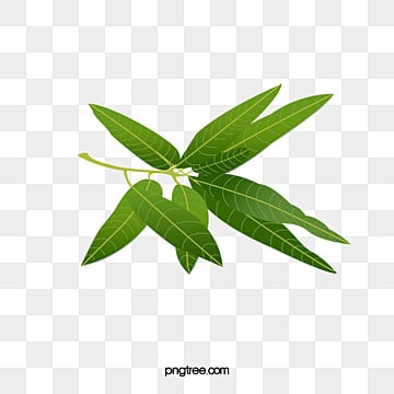 Mango Green Leaves Leaf Plant Branches PNG Image And Clipart