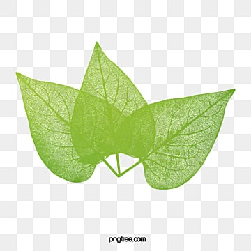 Mango Leaves Five Pieces PNG Image And Clipart