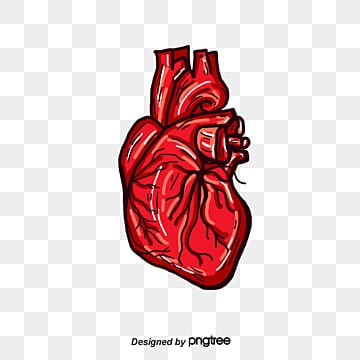 Corazon Humano Png Vectores Psd E Clipart Para Descarga Gratuita