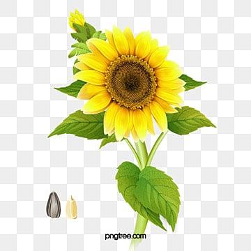 Girassol Imagens Png 2100 Recursos Graficos Para Download Gratuito