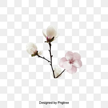 Magnolia Vector Png Images Vectors And Psd Files Free