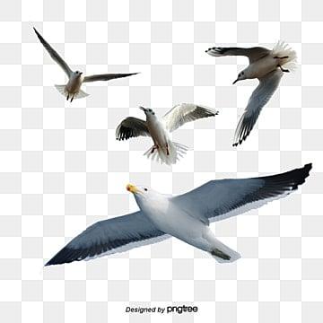 чайка, чайка, птица, морскойPNG и PSD