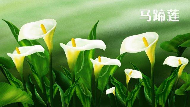 calla lily fleurs blanches image d'llustration image d'illustration