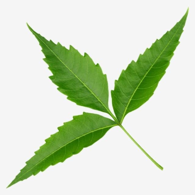 Neem Png Psd Neem Neem Leaves Azadirachta Indica Leaves Png