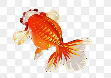 животное рыба золотая рыбка рыба, клипарт золотая рыбка, теплый цвет, водные организмы PNG и PSD