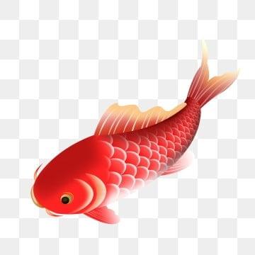 красная рыбка рыбы, клипарт золотая рыбка, год живописи, более года PNG и PSD