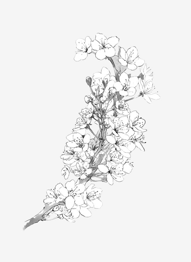Cherry Blossoms Pear Flower Flower Branch Black And White ...