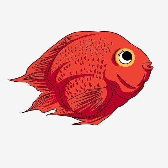 Papagaio De Sangue Goldfish Papagaio De Sangue Peixinho Lindo