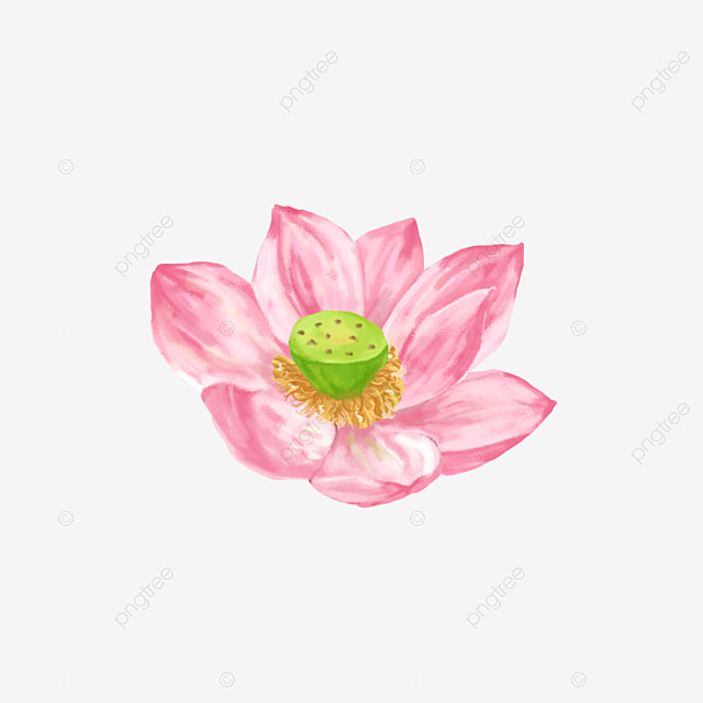 Lotus Lotus Lotus Lotus Summer Blooming Lotus Hand Drawn Lotus Hand