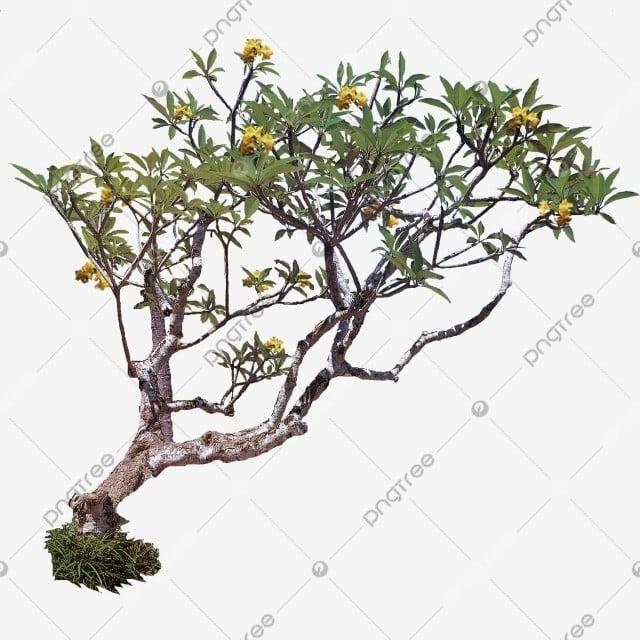 Plumeria Pohon Kamboja Kuning Pohon Tanaman Pohon Pohon Indonesia Png Transparan Gambar Clipart Dan File Psd Untuk Unduh Gratis