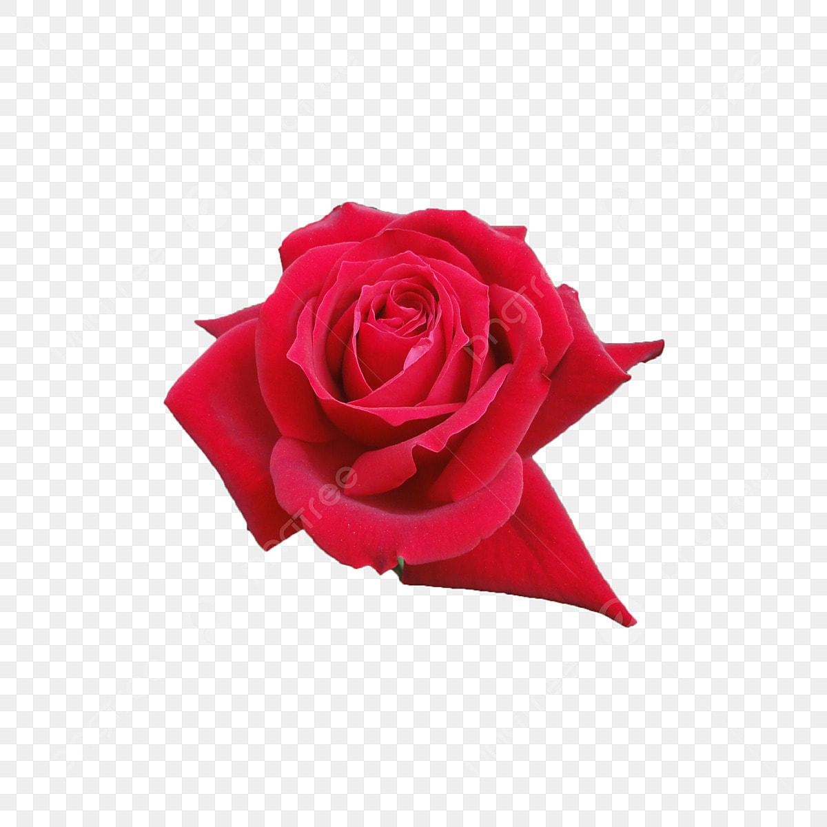 وردة حمراء متفرقة على خلفية بيضاء الذكرى الخلفية جميل Png وملف