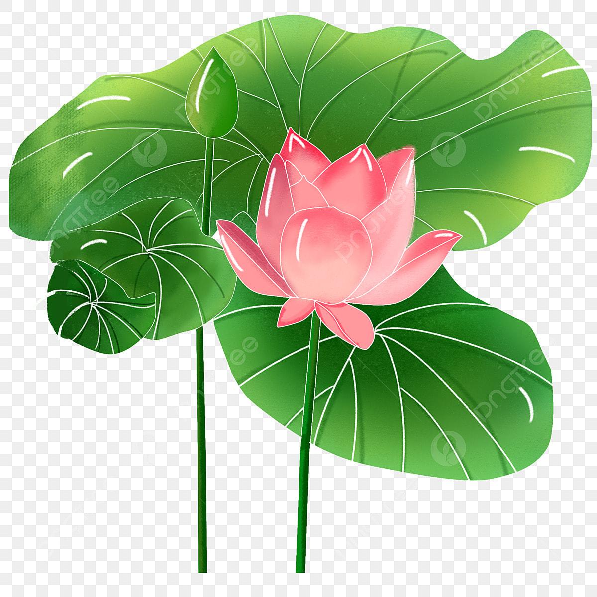 Summer Blooming Lotus Flower Leaf Summer Lotus Lotus Leaf