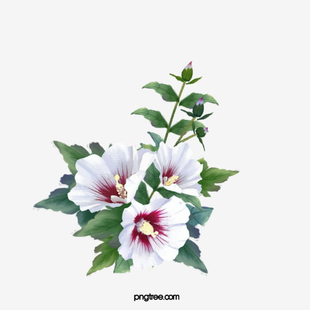 White Hibiscus Cluster Hand Painted Hibiscus Flowers Plant Png