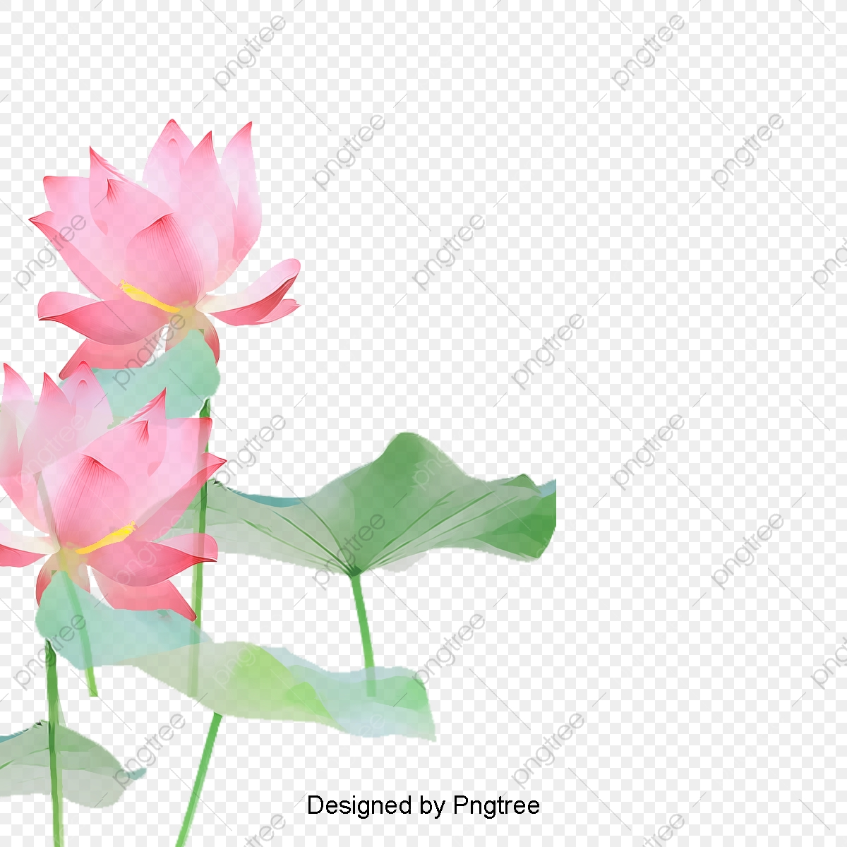 Lotus Flowers Lotus Clipart Flowers Lotus Png Transparent Image
